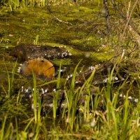 Бабочки в болоте :: Марина Кириллова