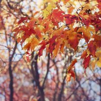 Кленовая осень :: Алиса Колмагорова