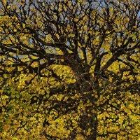 Осенний древ :: Владимир Гилясев