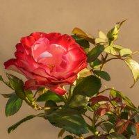 Осенняя роза :: Павел Руденко
