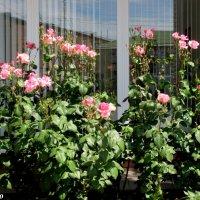 Розовые розы :: Нина Бутко