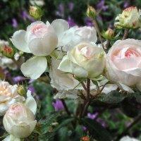 Белые розы... :: Владимир Бровко