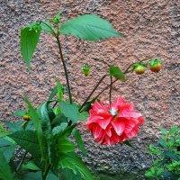 Стебелёк не вынес тяжести цветка :: Маргарита Батырева