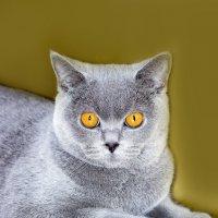Очаровательная британская кошечка. :: Светлана