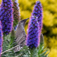 Птичка в цветках эхиума :: Tatiana Belyatskaya