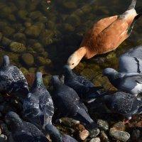 Голуби интересуются, чем угощают водоплавающих. :: Татьяна Помогалова
