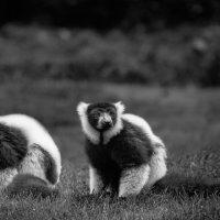Хороша парочка...Лемурляндия.Мадагаскар! :: Александр Вивчарик