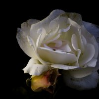 Роза :: Сергей Глянцев