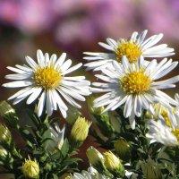 Белые звёздочки сентябринок :: Татьяна Смоляниченко
