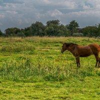 А на лугу пасется конь :: Игорь Сикорский