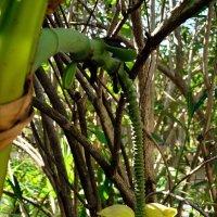 Банан однако... :: Александр