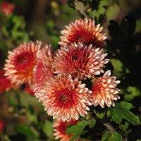 Хризантемы-птицы сада :: super-krokus.tur ( Наталья )