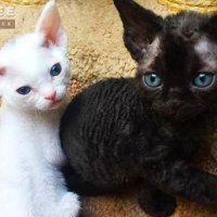 Черные и беленькие котята Девончики :: Valentina Ariel