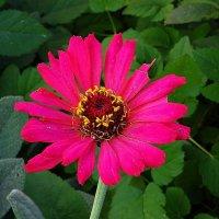 Цветы октября - Цинния :: Маргарита Батырева