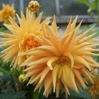 Георгина кактусовая Gold Crown :: Елена Павлова (Смолова)