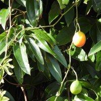 Плоды пассифлоры :: Natalia Harries