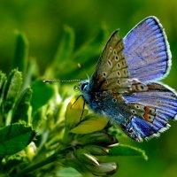 голубянка с потрёпанным крылом :: Александр Прокудин