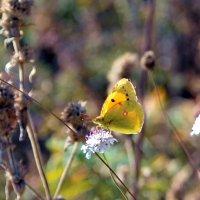 Солнечная бабочка- подарок золотой осени. :: Ольга Голубева