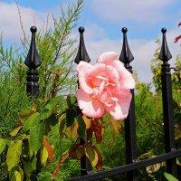 Для розы нет преград :: Alexander Andronik