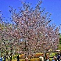 Цветение сакуры :: Виктор Егорович