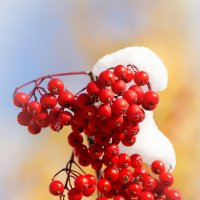 Рябина в снегу :: Sadi Omarov