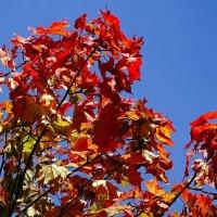 Осенний клён на фоне голубого неба :: Милешкин Владимир Алексеевич