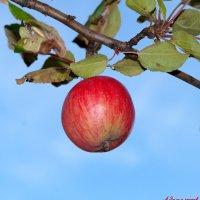 Наливное яблочко осеннее.. :: Андрей Заломленков