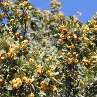 боярышник жёлтый, Казахстан ЮКО :: Бахытжан