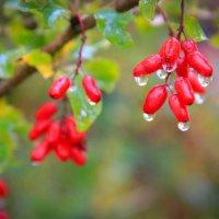 Барбарис под дождем :: Елена Кряжева