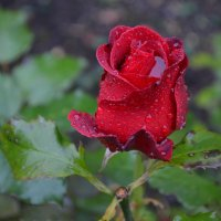 Афоризм - роза, миф из амфор... :: Владимир Павлов