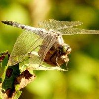 бабочка в лапах хищного вертолёта :: Александр Прокудин