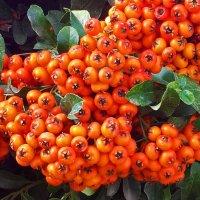 Осенние ягоды :: Светлана