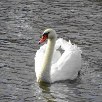 Лебедь на пруду :: Маргарита Батырева