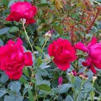 Осенние розы :: татьяна