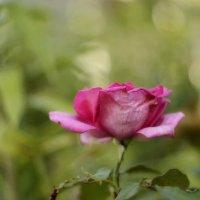 Осенняя роза :: Светлана Винокурова