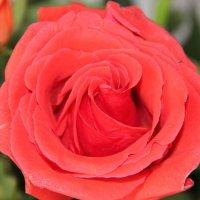 роза :: андрей шилов