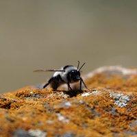 Пчелка :: Олег Спиридонов