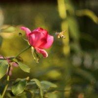 Роза и бражник :: Светлана Винокурова