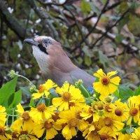 Сойка и осенние цветы. :: Hаталья Беклова