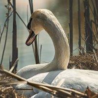 Лебедь в гнезде. :: Лилия .