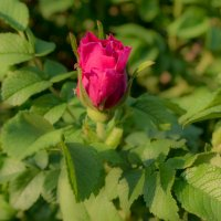 Шиповниковая роза :: Алена Малыгина