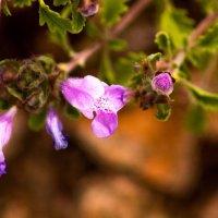 Сиреневые цветочки :: Марина Кириллова