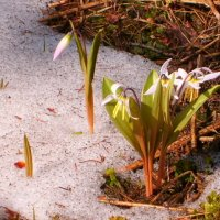 цветы из под снега :: vladimir polovnikov