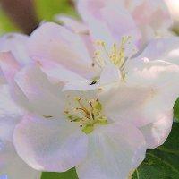 В цвету :: Татьяна Шаклеина