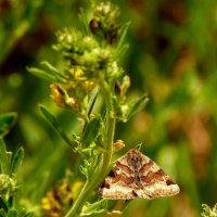 бражник в луговой траве :: Александр Прокудин