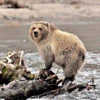 Бурый медвежонок. :: Елена Савчук