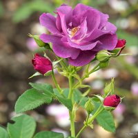 красота кустовой розы :: Олег Лукьянов