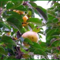 Самое вкусное яблочко спряталось в кроне дерева....:) Не достать и не съесть... :) :: Любовь К.