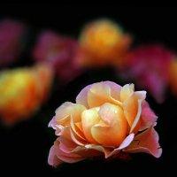 розы в октябре :: Михаил Бибичков