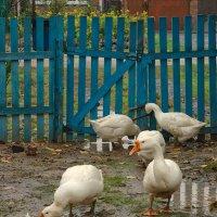 Любители дождя и грязи. :: Наталья S